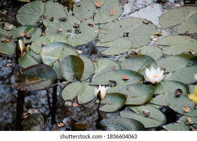 Three white water lilies. Leafs and flowers of beautiful white lily on the water surface