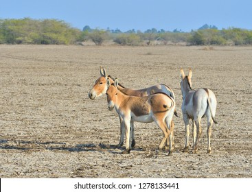 three Wild ass rest in vast Little Rann of Kutch, Gujarat, India
