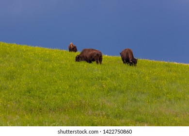 Three wild bison grazing on a hillside in the bright afternoon sunshine with dark blue storm clouds in the background.