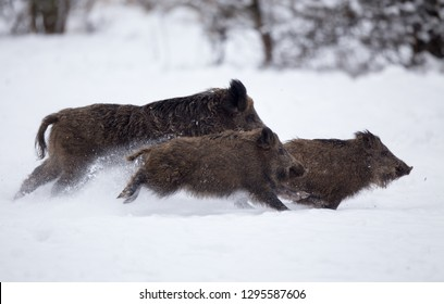 Three wild boars running on snow in forest. Wildlife in natural habitat