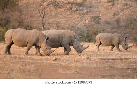 Three wild free white rhinos