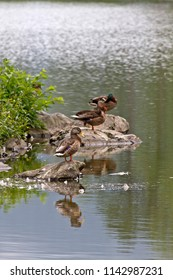 Three wild male and female ducks rest and sleep on rocks and molt their feathers on an island in the middle of a scenic lake