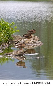 Three wild male and female ducks rest amid feathers and rocks on an island in the middle of a scenic lake