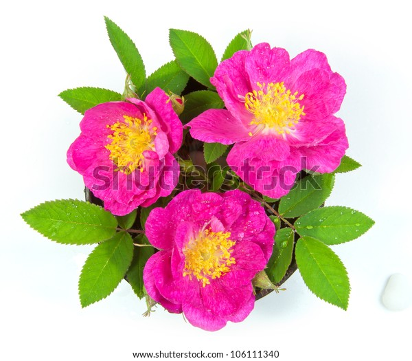 three wild roses on white background