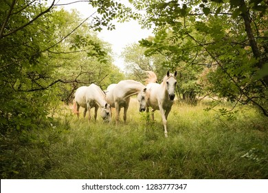 three wild white lipizzaner horses in natural enviroment between trees and bushes
