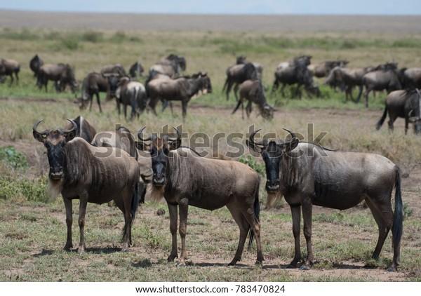 Three Wildebeest watching for predators