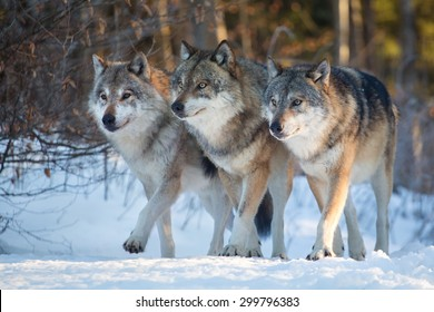 Three wolves marching together