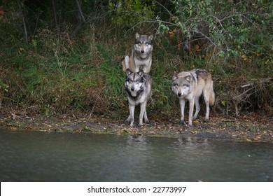 three wolves on shoreline