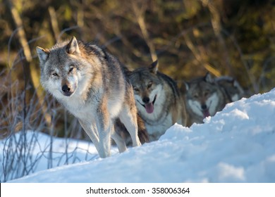 Three wolves walking in a line through winter woods