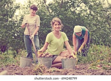 three women harvested potatoes in field