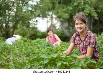 Three women working in field of potato