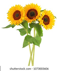 Three wonderful sunflowers (Helianthus annuus)  isolated on white background, including clipping path. Germany