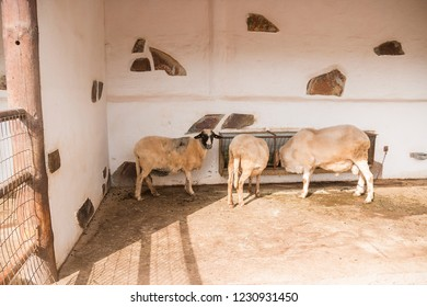 Three woolen sheeps close to manger.