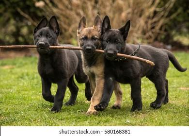 Three working line German shepherd puppies brings one stick