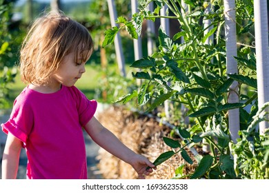 Three year old girl touching vegetable in the straw bale garden on the landscape fabric