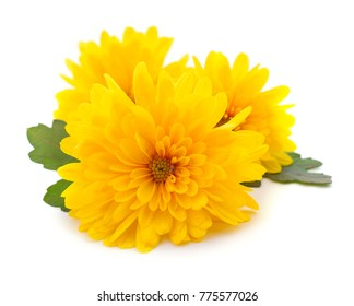 Three yellow chrysanthemums isolated on white background.