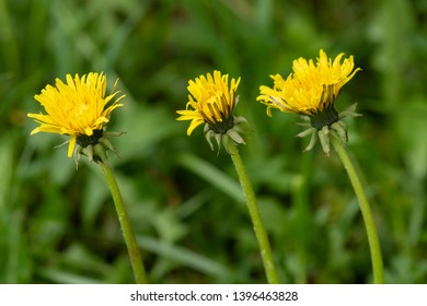 Three yellow dandelion flowers in nature on meadow. Dandelions field on spring sunny day. Blooming dandelion on green background.