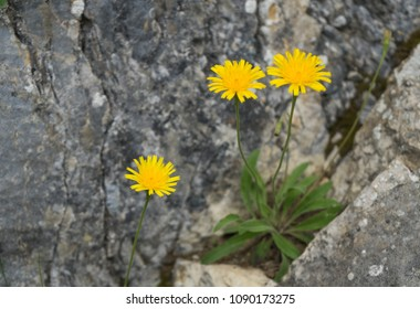 Three yellow flowers growing on the rocks