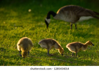 Three yellow goslings at sundown with parent Canada Goose in background