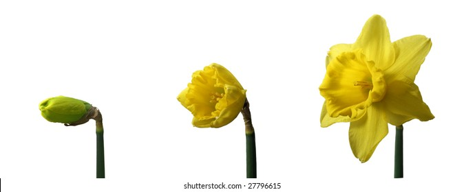 Three yellow Jonquils on white background