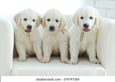 Three yellow lab puppies.