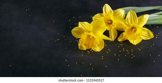 Three yellow narcissus on dark background. Spring background with flowers and yellow dots.