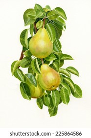 Three Yellow Pears on a Branch.  Watercolor illustration of three yellow pears on a branch with leaves on a white background.