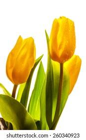 Three yellow spring tulips on white background