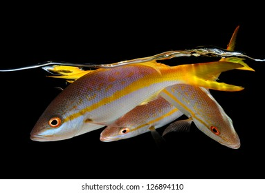 Three yellow tail snappers underwater on black background