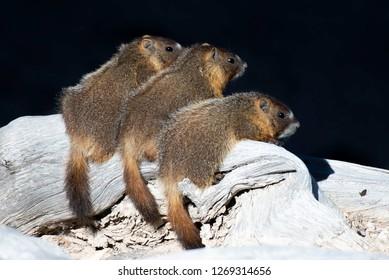 Three Yellow-bellied Marmot siblings sitting on a log at Cedar Breaks National Monument in southern Utah.
