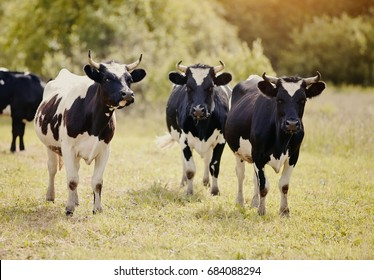 Three young black-and-white bull-calves on a pasture.
