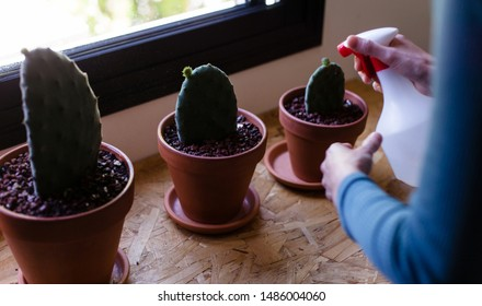 Three young cacti in separate planters.