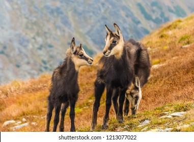 Three young chamois (Tatra chamois) on a grassy slope in autumn in the Tatras.