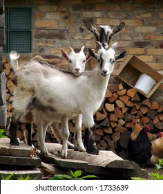 Three young goats