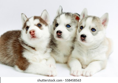 three young husky puppies sleep on a white background