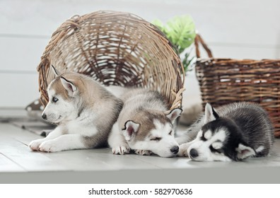 three young husky puppies sleeping on a white background. Symbol of new year 2018