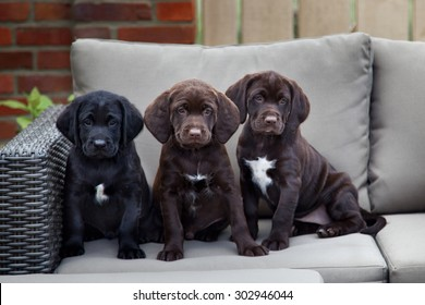 three young labrador retriever puppies sitting on sofa outdoor