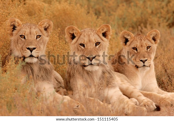 Three young lions