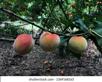 Three young peaches, ripening on the tree, in Florida.