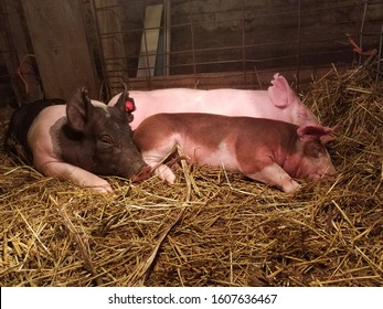 Three young pigs cuddling together