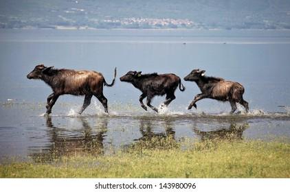 Three young running water buffaloes at lake Kerkini in North Greece