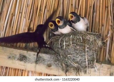three young swallows in the nest are fed (Hirundinidae)