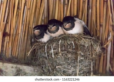 three young swallows in the nest (Hirundinidae)