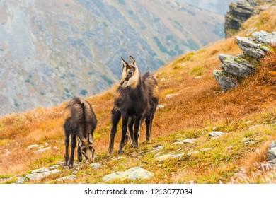Three young Tatra chamois (Rupicapra rupicapra tatrica) graze on a grassy slope in the autumn in the Western Tatras.