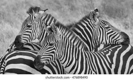Three zebra on lookout in black and white.  Taken in Tanzania.