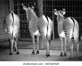 Three zebras in captivity, view from behind