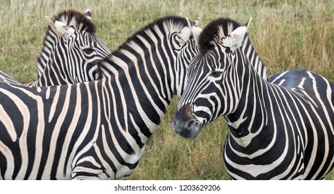 Three zebras, facing in different directions, photographed in the grass at Port Lympne Safari Park, Ashford Kent UK.