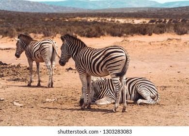 Three Zebras just standing and laying around in the desert