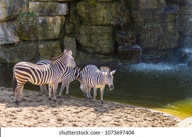Three zebras near a lake and in front of a waterfall in an annimal park in Belgium