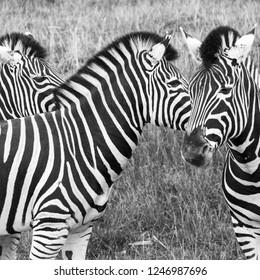 Three zebras, photographed in monochrome at Port Lympne Safari Park, Ashford, Kent UK